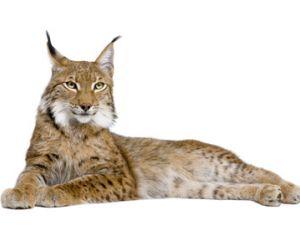 Le lynx commun ou lynx boréal