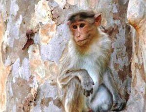 Jeune macaque mâle © Arnaud Filleul