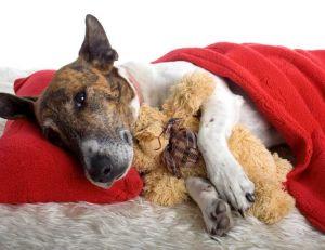 Les maladies du chien : la diarrhée