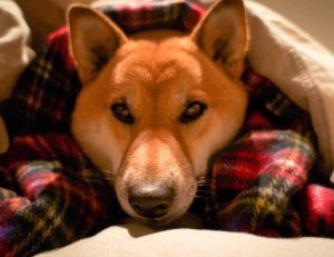 Les maladies du chien : la toux du chenil