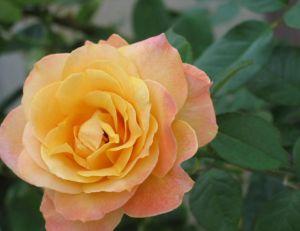 Rose dans un jardin