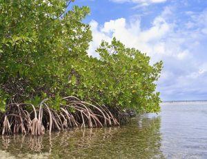 Journée internationale pour la conservation des mangroves