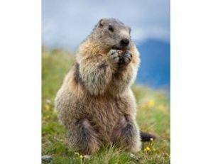 Marmotte adulte