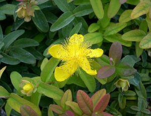 Millepertuis : magnifique arbuste couvre-sol
