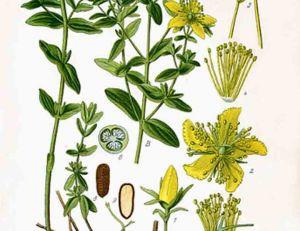 Millepertuis : plante vivace