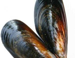 La moule est un bivalve mollusque
