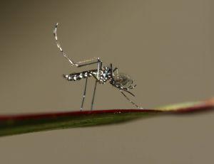 Les moustiques disposeraient de trois capteurs infaillibles auxquels personne ne peut échapper