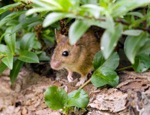 Mulots, lapins: des nuisibles au jardin