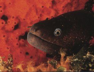 La murène préfére vivre dans les rochers et les coraux