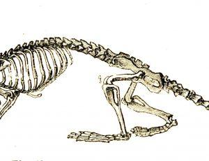 Squelette de musaraigne