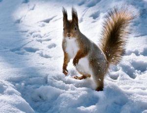 Un écureuil recherche sa nourriture en hiver… et pourtant ses provisions ne sont surement pas loin