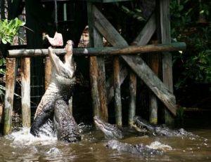 Nourrissage dans une ferme d'élevage d'alligators
