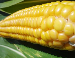 Les organismes génétiquement modifiés ou OGM