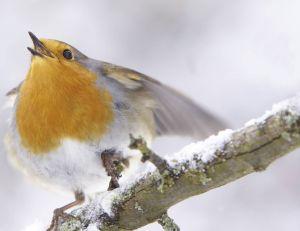 Du fait des températures clémentes de ce début d'hiver, les oiseaux ont débuté la période des amours nettement plus tôt...