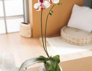 Entretenir et faire fleurir des orchidées