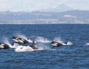 Troupeau d'orques