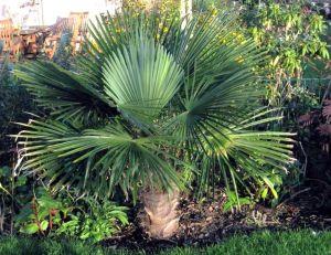 Planter et entretenir des palmiers