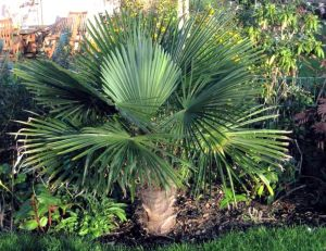 pa/palmiers-trachycarpus-fortunei-1.jpg