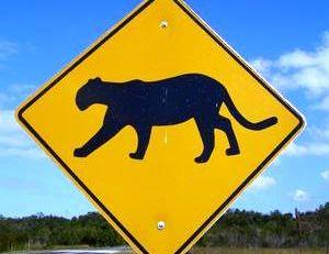 Attention les pumas sont protégés en Floride !