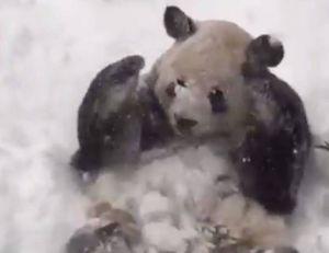 Tian Tian, le panda de Washington, apprécie visiblement la neige...
