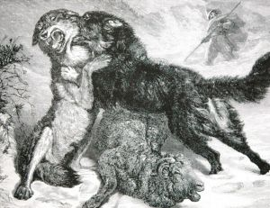 Chien de montagne des Pyrénées défendant son troupeau contre un loup