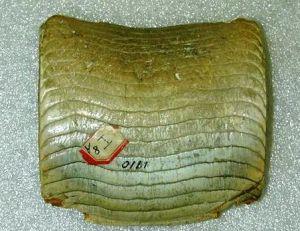 Pavé dentaire de raie fossilisé