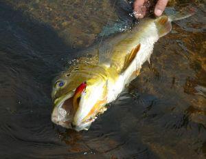 Prise d'un peacock-bass