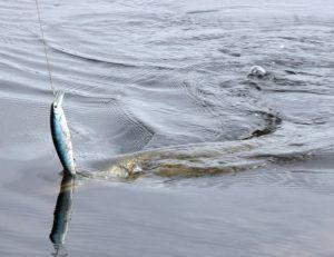 Un poisson nageur vient de prendre un brochet en profondeur