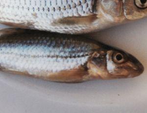 Bien pêcher le goujon