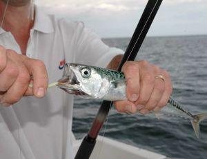 Pêche du maquereau