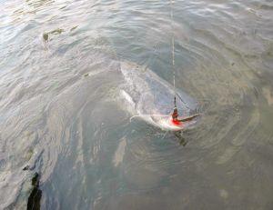 Pêche du silure depuis le bord