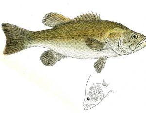 Black bass, également appelé perche truitée
