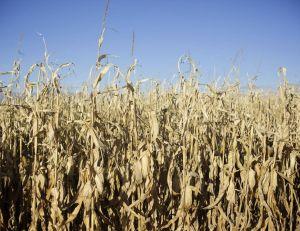 Et si les microcéphalies provenaient d'un pesticide Monsanto ?