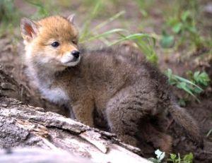 Un bébé coyote