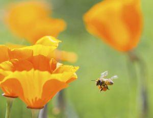 Abeilles, victimes colatérales de l'usage des insecticides