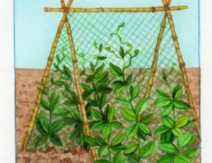 Tuteurage des plants de petits pois