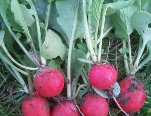 Récolter les radis