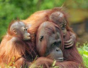 Les petits restent accrochés environ deux ans à leur mère