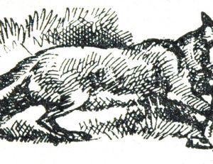 Le renard pris au piège, gravure de 1930
