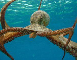 Une pieuvre à 8 bras