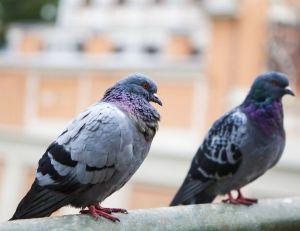pigeons patrouilleurs