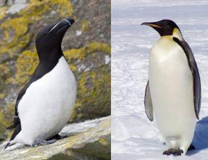 Le pingouin torda n'est pas un manchot
