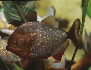 Piranha noir