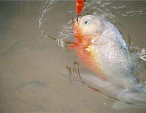 Piranha rouge © Arnaud Filleul