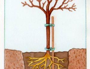 Schéma du plantation du pommier