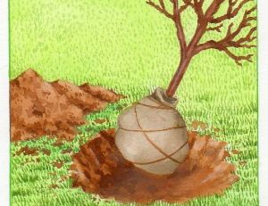 Planter des arbres en motte