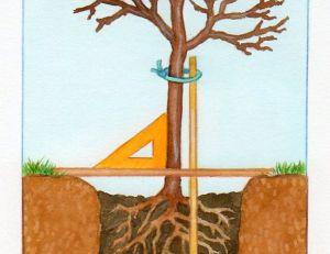 Poser un tuteur pour votre arbre