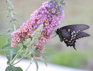 Planter des buddleias