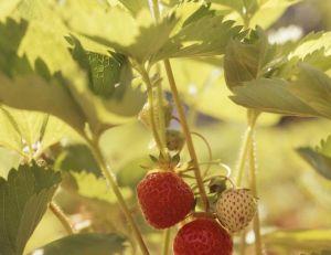 Choisir, planter et entretenir ses fraisiers
