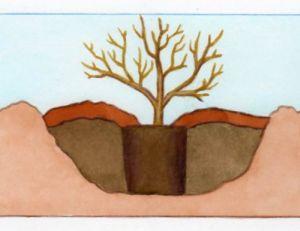 Plantation d'un hortensia